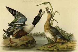 Shoveler Duck by John James Audubon