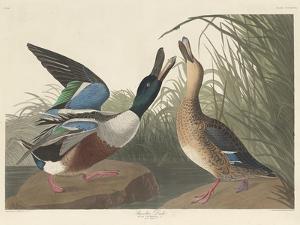 Shoveller Duck, 1836 by John James Audubon