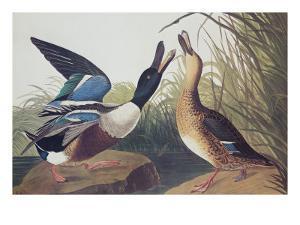 Shoveller Duck by John James Audubon
