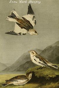 Snow Lark Bunting by John James Audubon