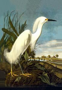Snowy Egret by John James Audubon