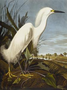 Snowy Heron or White Egret / Snowy Egret (Egretta Thula), Plate CCKLII, from 'The Birds of America' by John James Audubon