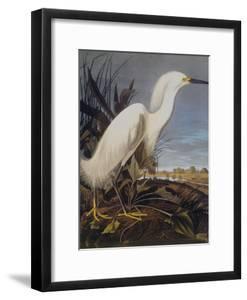 Snowy Heron Or White Egret by John James Audubon