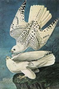 Southern Caracara by John James Audubon