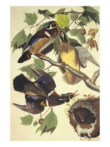 Summer Or Wood Duck by John James Audubon