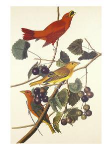 Summer Red Bird by John James Audubon