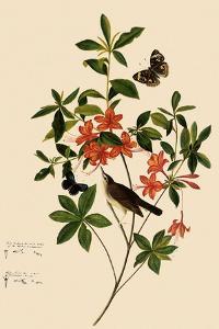Swainson's Warbler by John James Audubon