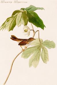 Swamp Sparrow by John James Audubon