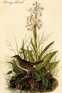 Tawny Thrush by John James Audubon