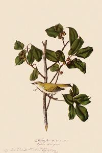 Tennessee Warbler by John James Audubon