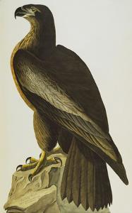 The Bird of Washington Bald Eagle (Haliaeetus Leucocephalus), Plate XI, from 'The Birds of America' by John James Audubon