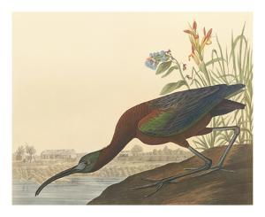 The Glossy Ibis by John James Audubon