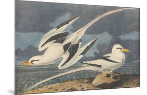 The White-Tailed Tropic Bird by John James Audubon