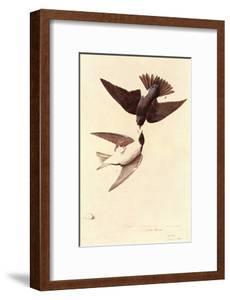 Tree Swallow by John James Audubon