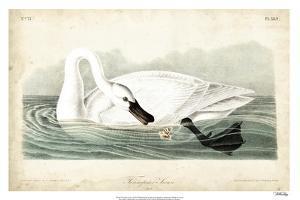 Trumpeter Swan I by John James Audubon