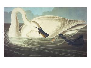 Trumpeter Swan (Olor Buccinator), Plate Ccccvi, from 'The Birds of America' by John James Audubon