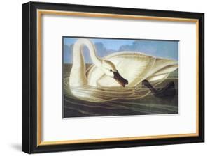 Trumpeter Swan by John James Audubon