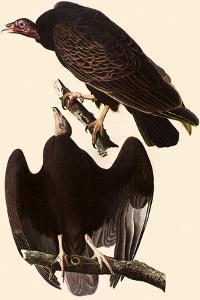 Turkey Vultures by John James Audubon