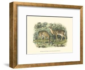 Virginian Deer by John James Audubon