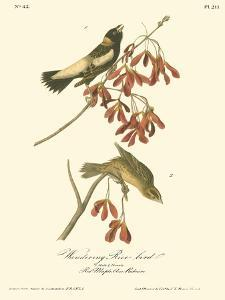 Wandering Rice Bird by John James Audubon