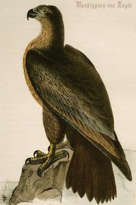 Washington Sea Eagle by John James Audubon