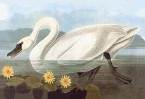 Whistling Swan by John James Audubon