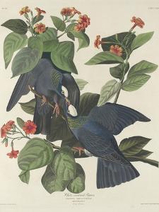 White-crowned Pigeon, 1833 by John James Audubon