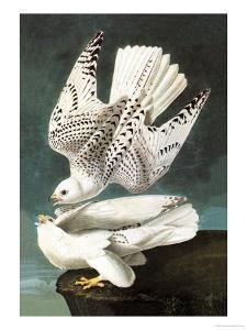 White Gyrfalcon by John James Audubon