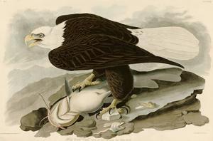 White Headed Eagle by John James Audubon
