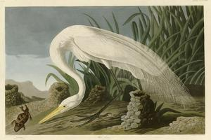 White Heron by John James Audubon