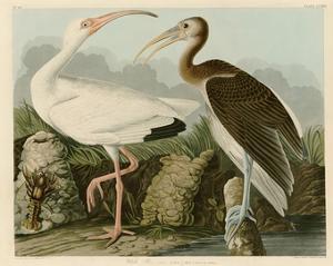 White Ibis by John James Audubon
