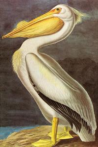 White Pelican by John James Audubon