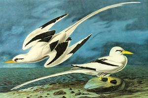 White-Tailed Tropic Bird by John James Audubon