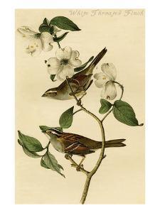 White Throated Finch by John James Audubon