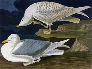 White-Winged Silvery Gull by John James Audubon