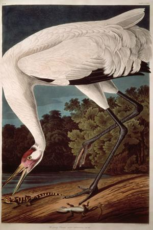 "Whooping Crane, from ""Birds of America"" by John James Audubon"