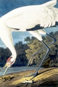 Whooping Crane, by John James Audubon