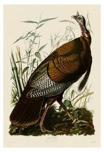 Wild Turkey I by John James Audubon