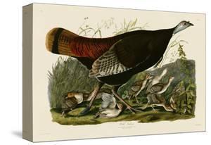 Wild Turkey II by John James Audubon