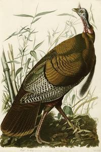 Wild Turkey by John James Audubon
