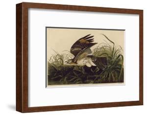 Winter Hawk by John James Audubon