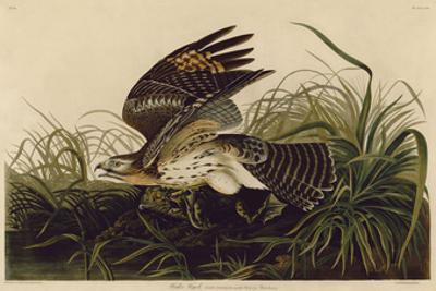 Winter Hawk by John James Audubon