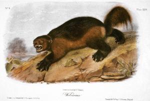 Wolverine by John James Audubon