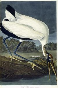 Wood Ibis, 1834 by John James Audubon
