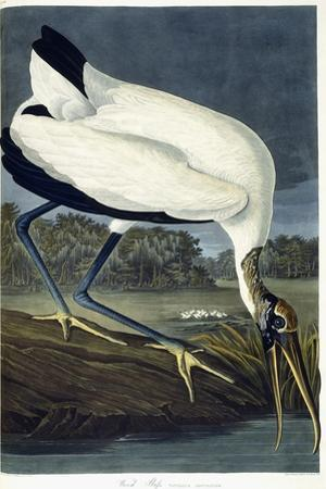 Wood Ibis, 1834 by John James Audubon