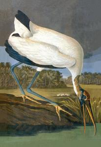 Wood Stork by John James Audubon