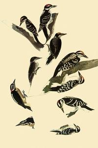 Woodpeckers by John James Audubon