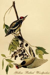Yellow Bellied Woodpecker by John James Audubon