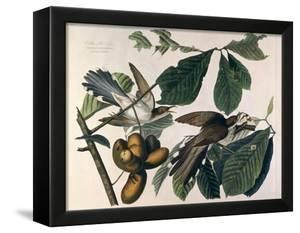 Yellow-Billed Cuckoo, from Birds of America, Engraved by William Home Lizars by John James Audubon