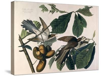 Yellow-Billed Cuckoo, from Birds of America, Engraved by William Home Lizars